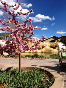 Colorado Cherry Tree